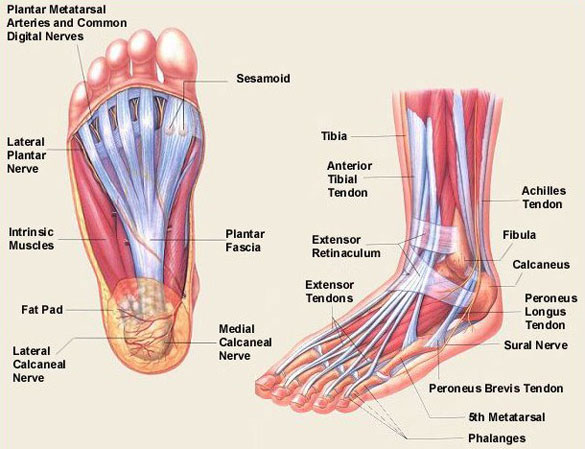 Foot anatomy image